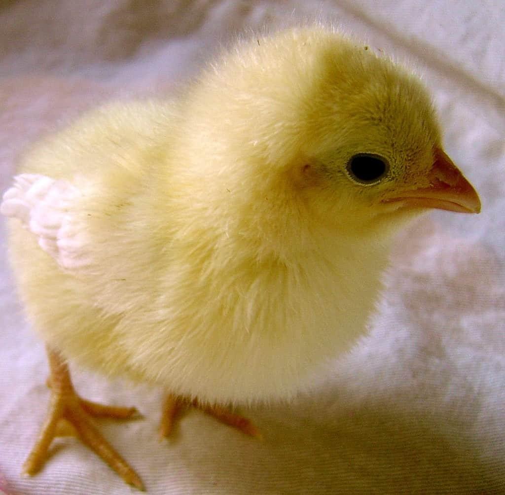 spring chick PEEP!