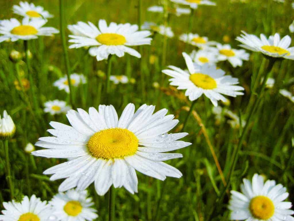 fields of daisies gentle curriculum for living loving